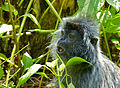 Silvered Leaf Monkey (Trachypithecus cristatus) eating leaves (15781487145).jpg