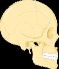Skulls 2 -- Smart-Servier.png