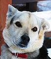 Sled Dog (8001441183).jpg