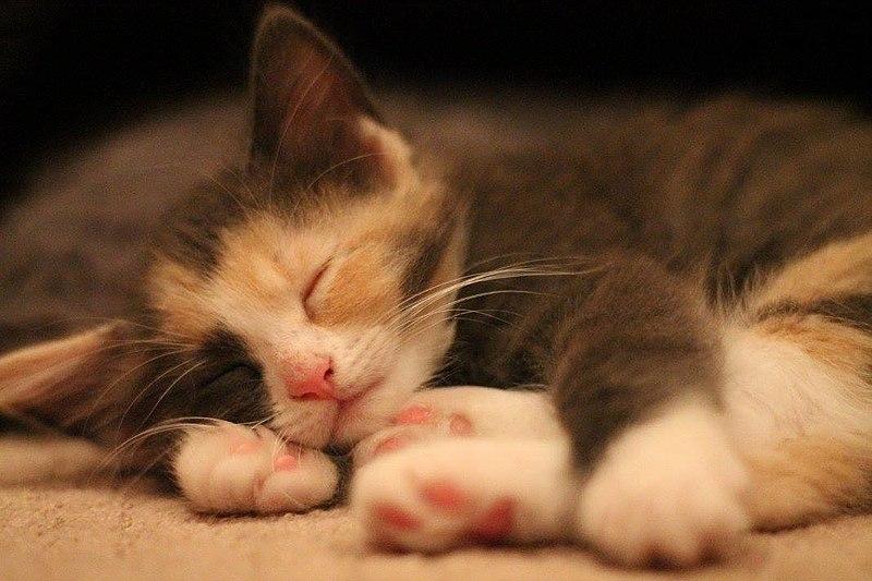 File:Sleeping calico kitten.jpg
