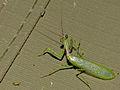 Small Green Mantis (Miomantis binotata) (13799228494).jpg