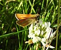 Small Skipper butterfly (27839171893).jpg