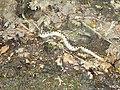Snake Vipera ammodytes.jpg