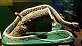 Snake skeleton 2.jpg