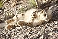Snow leopard pakistan.JPG