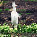 Snowy Egret (27615695371).jpg