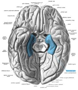 Parahippocampal gyrus wikipedia parahippocampal gyrus ccuart Image collections