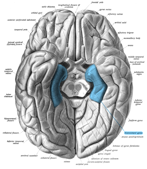 Parahippocampal gyrus wikiwand human brain seen from below parahippocampal gyrus shown in blue ccuart Image collections