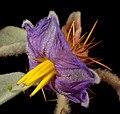 Solanum gilesii - Flickr - Kevin Thiele.jpg
