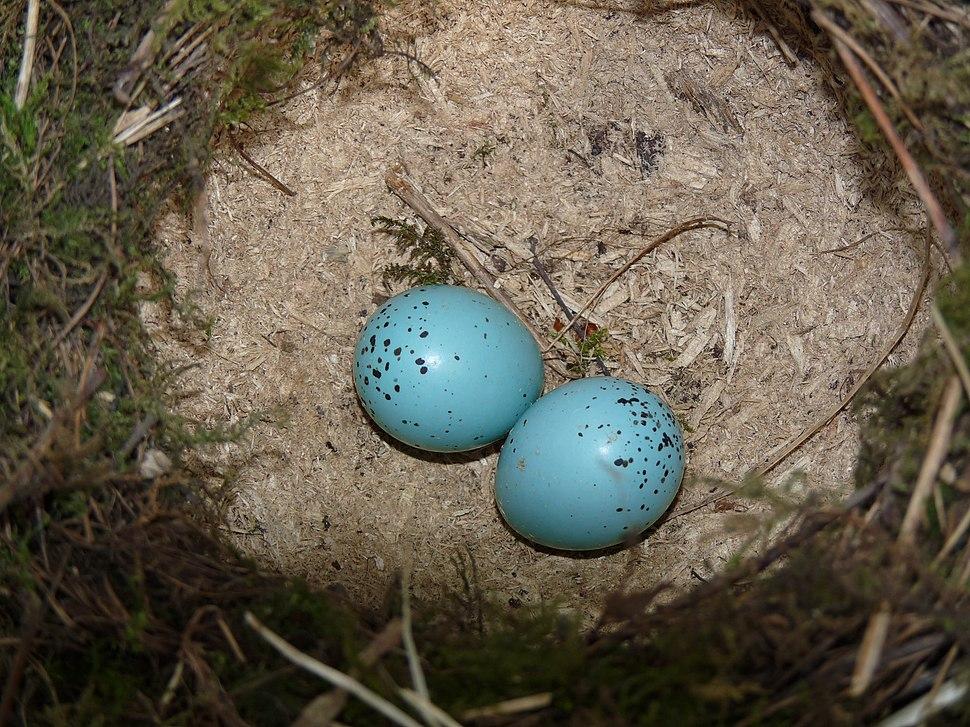 Song Thrush Nest 01-04-11 (26.4 mm x 20.8 mm Egg Size) (5580096258)