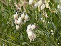 Sophora secundiflora beans.jpg