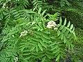Sorbus americana 6 (5098095672).jpg