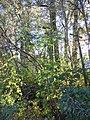 Sorbus aucuparia (5084661979).jpg