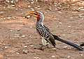 Southern Yellow-billed Hornbill (Tockus leucomelas) male eating scraps from picnic site ... (32416771584).jpg