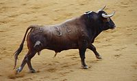 Spanish Fighting Bull II by Alexander Fiske-Harrison.jpg