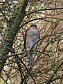 Sparrowhawk, Dawlish Warren - geograph.org.uk - 1252155.jpg