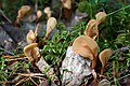 Spathularia flavida (6080314221).jpg