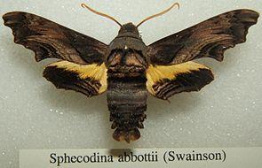 Präparat von Sphecodina abbottii