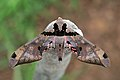 Sphinx moth (Adhemarius gannascus).jpg