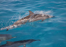 Spinner dolphins at Midway Atoll Spinner dolphins (6741930935).jpg