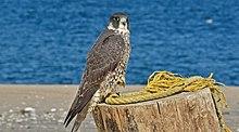 Peregrine Falcon Wikipedia