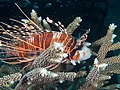Spotfin lionfish (Pterois antennata).jpg