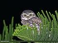 Spotted Owlet (Athene brama) (36283935403).jpg