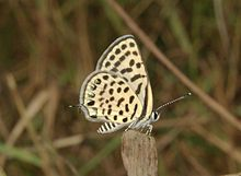 Spotted Pierrot Tarucus callinara at Delhi by Dr. Raju Kasambe (1).jpg