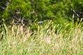 Spotted sandpiper (40776448053).jpg