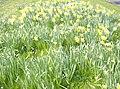 Spring flowers - geograph.org.uk - 986155.jpg