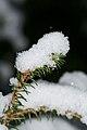 Spruce with snow.JPG