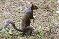 Squirrel (14922016035).jpg