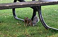 Squirrel of Parc du Mont-Royal (1).jpg