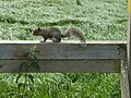 Squirrel on a stile on Path from Dry Pot Lane to the A42 - geograph.org.uk - 1342898.jpg