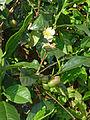 Sri Lanka-Province du Centre-Plantations de thé (7).jpg
