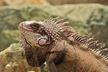St Thomas Marriott Iguana 8.jpg