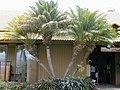 Starr-010420-0125-Phoenix roebelenii-cultivated habit-Kahului-Maui (24450007251).jpg