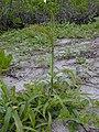 Starr-010520-0043-Setaria verticillata-habit-Inland-Kure Atoll (23904552414).jpg