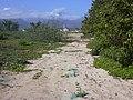 Starr-040125-0030-Nicotiana glauca-dune restoration old roadcut filling-Kanaha Beach-Maui (24603802941).jpg