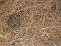 Starr-041221-1803-Pinus sp-Polipoli trail-Polipoli-Maui (24354198339).jpg