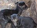Starr-041223-2161-Scaevola gaudichaudii-habitat with baby goats-LaPerouse-Maui (24604700952).jpg