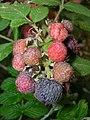 Starr-051123-5478-Rubus niveus-form a fruit-Haleakala Ranch-Maui (24221589804).jpg