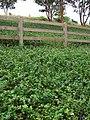 Starr-070621-7427-Vinca major-habit-Oluolu Rd Kula-Maui (24771894912).jpg