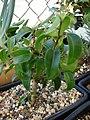 Starr-080117-1671-Ficus benjamina-bonsai-Walmart Kahului-Maui (24807190361).jpg