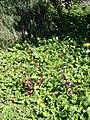 Starr-080219-2897-Alternanthera brasiliana-habit-Enchanting Floral Gardens of Kula-Maui (24277777553).jpg