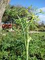 Starr-081031-0403-Anethum graveolens-flowering habit-Makawao-Maui (24296106344).jpg