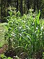 Starr-090707-2393-Zea mays-flowering habit-Olinda-Maui (24601420059).jpg
