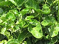 Starr-090720-2987-Polyscias scutellaria-leaves-Waiehu-Maui (24674518340).jpg