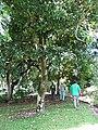 Starr-091104-0674-Terminalia megalocarpa-habit with Kamaui Forest and Mike-Kahanu Gardens NTBG Kaeleku Hana-Maui (24987447045).jpg