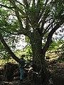 Starr-091115-1236-Fraxinus uhdei-habit with Forest-Olinda-Maui (24895860181).jpg
